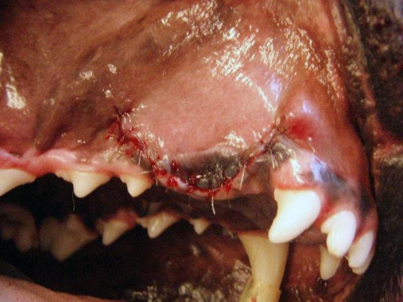 Avanceret-kirurgisk-ekstraktion-hund